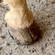 Cracked horse hoof