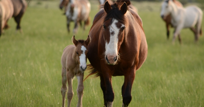Mare on pasture with foal at foot