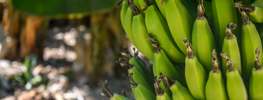 bunch of green bananas growing on a tree